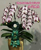 """Орхидея фаленопсис подростки, сорт Fuller's Mask 'Smile', горшок 1.7"""" без цветов, фото 1"""