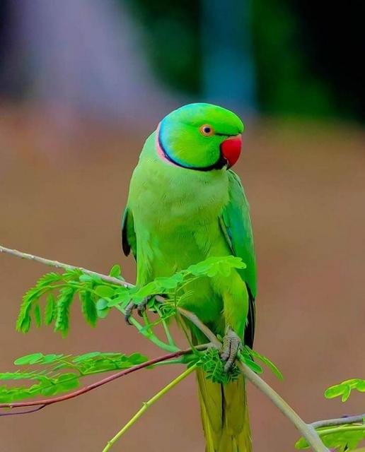 Середні папуги