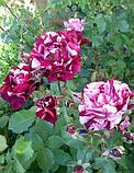 Роза New Imagine (Нью Имэджин), фото 3