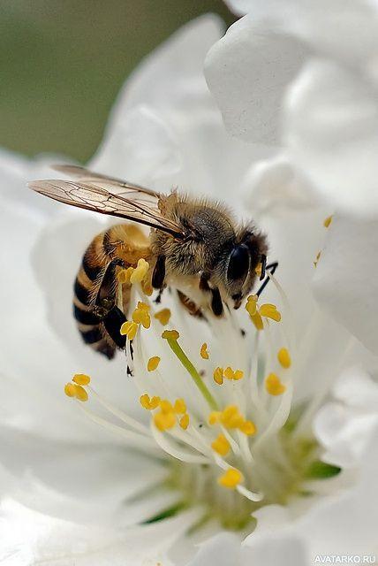 Бджола. Малюнок 1.
