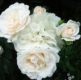 Роза Карт Бланш (Carte Blanche), фото 2