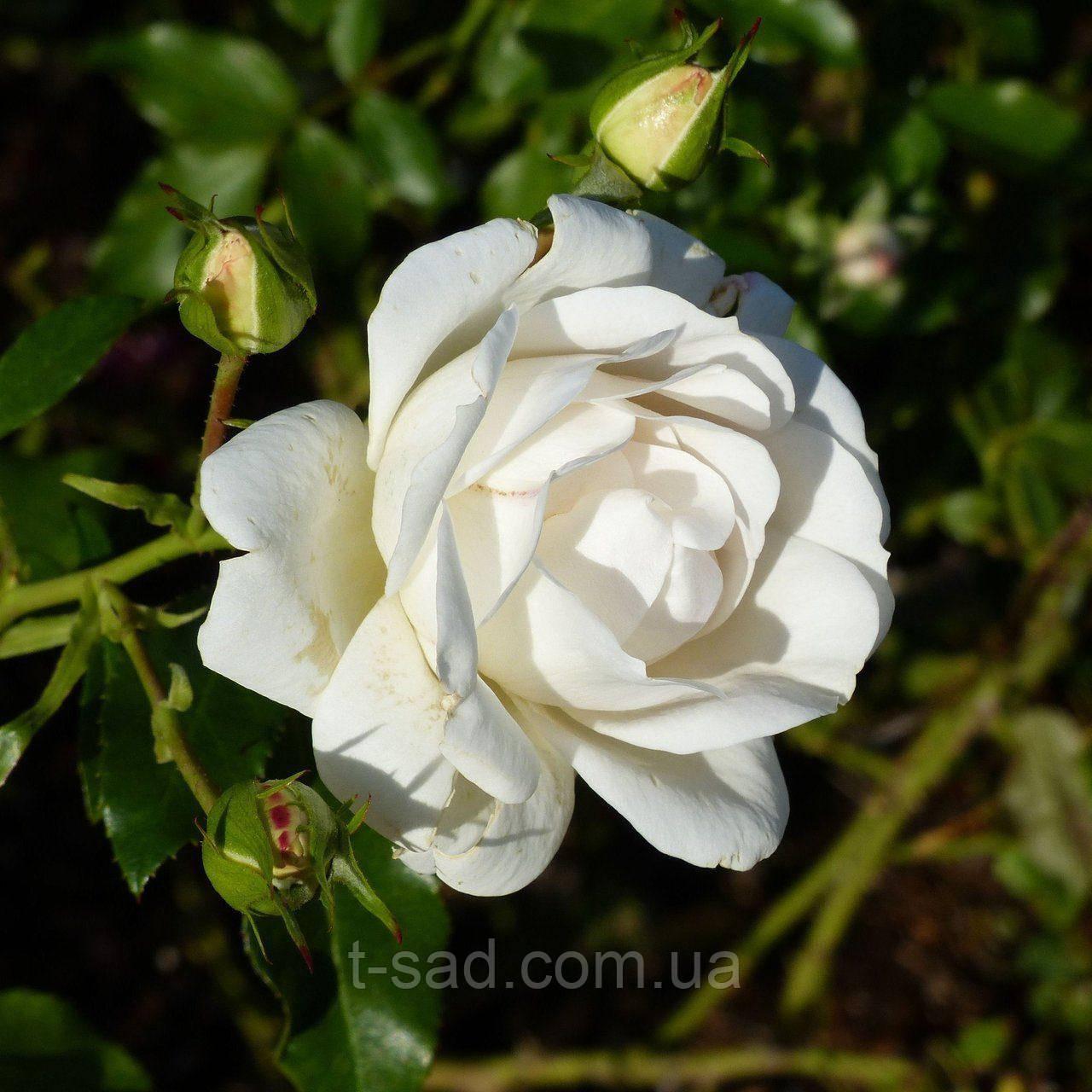 Роза Карт Бланш (Carte Blanche)