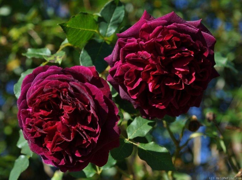 Роза Munstead Wood (Манстед Вуд)