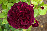 Роза Munstead Wood (Манстед Вуд), фото 2