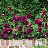 Роза Munstead Wood (Манстед Вуд), фото 3