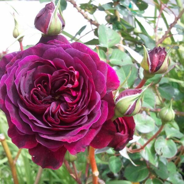 Роза Традескант (Tradescant)