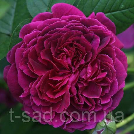 Роза William Shakespeare (Вильям Шекспир)