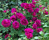 Роза William Shakespeare (Вильям Шекспир), фото 2