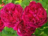 Роза William Shakespeare (Вильям Шекспир), фото 3