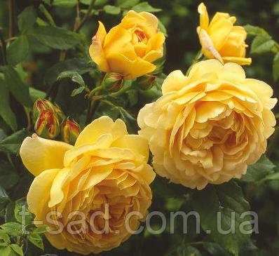 Роза Golden Celebration (Голден Леді)