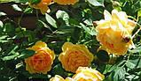 Роза Golden Celebration (Голден Леді), фото 2