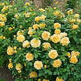 Роза Golden Celebration (Голден Леді), фото 3
