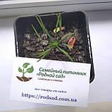 Кедр сибирский семена (20 штук) (сосна кедровая) для выращивания саженцев + инструкции + подарок, фото 5