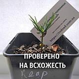 Кедр сибирский семена (20 штук) (сосна кедровая) для выращивания саженцев + инструкции + подарок, фото 4
