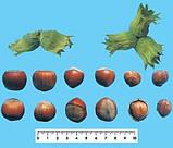 Саженцы фундука сорт Анаклиури, фото 4