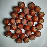 Саженцы фундука сорт Трапезунд, фото 2