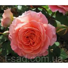 Роза Mamie Dittiere (Мами Дитьер)
