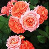Роза Mamie Dittiere (Мами Дитьер), фото 2