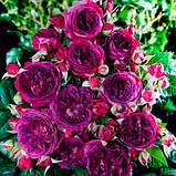 Роза Purple Lodge (Перпл Лодж), фото 2