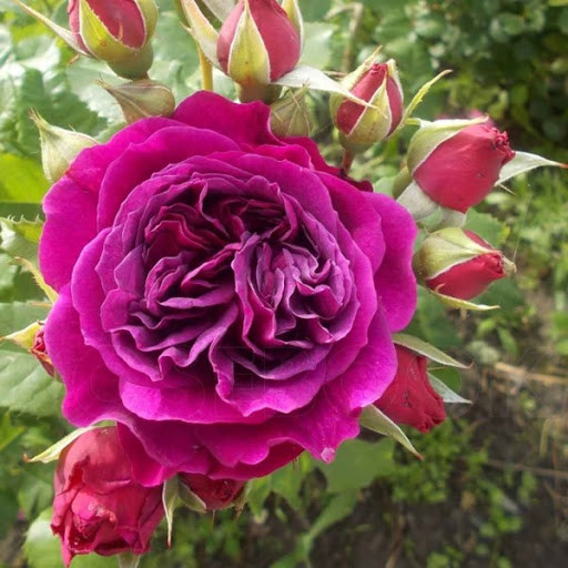 Роза Purple Lodge (Перпл Лодж)