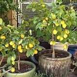 Саженцы лимона сорт Мейер, фото 2
