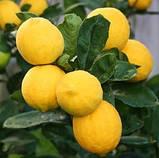 Саженцы лимона сорт Мейер, фото 3