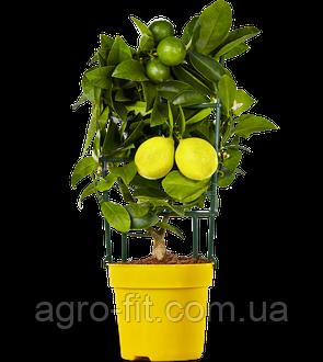 Саженцы лимона сорт Мейер