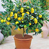 Саженцы лимона сорт Мейер, фото 4