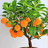 Саженцы апельсина сорт Вашингтон, фото 2