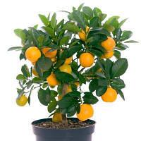 Саженцы апельсина сорт Вашингтон