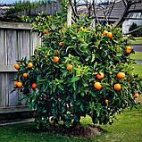 Саженцы апельсина сорт Вашингтон, фото 3