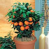 Саженцы апельсина сорт Вашингтон, фото 4