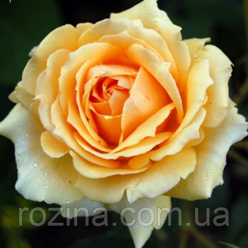"""Саджанці троянди """"Софія Ренесанс"""""""