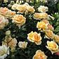 """Саджанці троянди """"Софія Ренесанс"""", фото 3"""