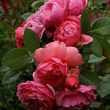 Роза Laduree (Ладюр), фото 2