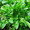 Семена щавля Бельвиль 100 гр Agri Saaten