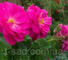 Роза John Cabot (Джон Кабот)