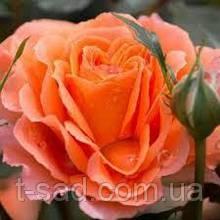 Роза паркова Bessy (Бессі)