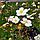 Лапчатка біла/ Лапчатка белая/ Potentilla alba, фото 2
