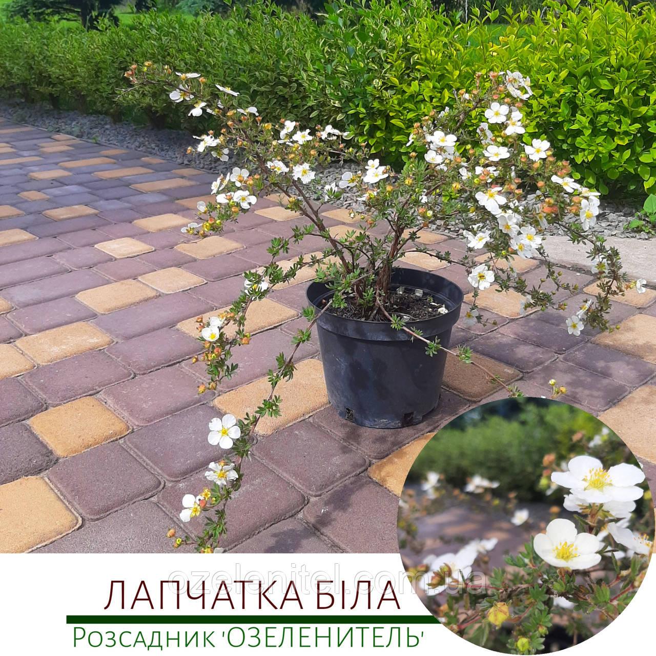 Лапчатка біла/ Лапчатка белая/ Potentilla alba