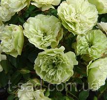 Роза Green Ice (Грін Айс)