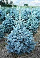 Голубая ель Кейбаб 30-40 см. 1-л