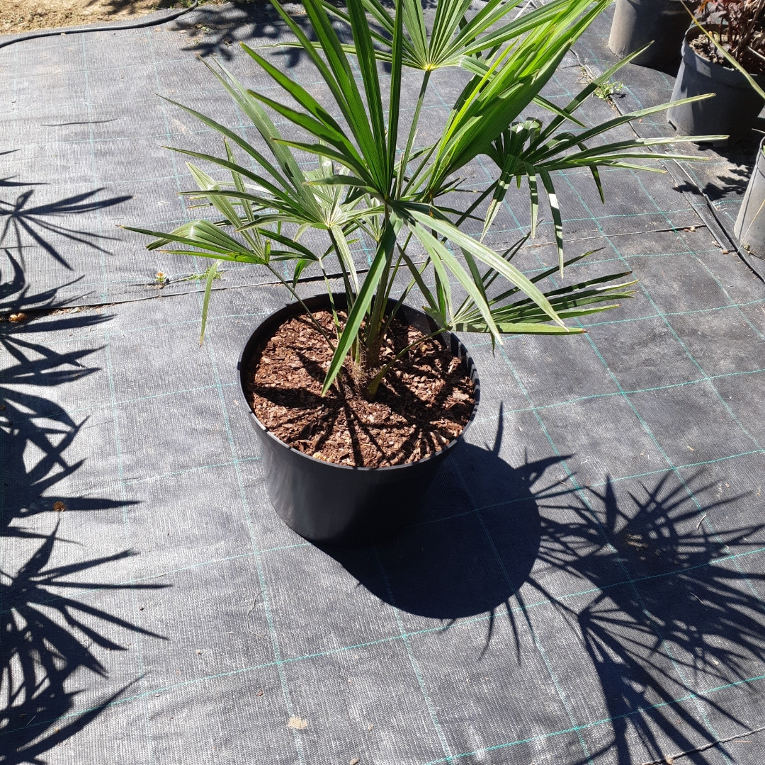 Trachycarpus Fortunei / Chusan Palm (Трахикарпус Чусан)