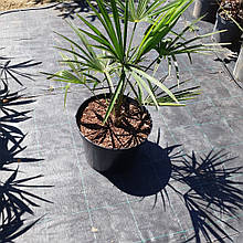 Trachycarpus Fortunei / Chusan Palm (Трахикарпус чуса)
