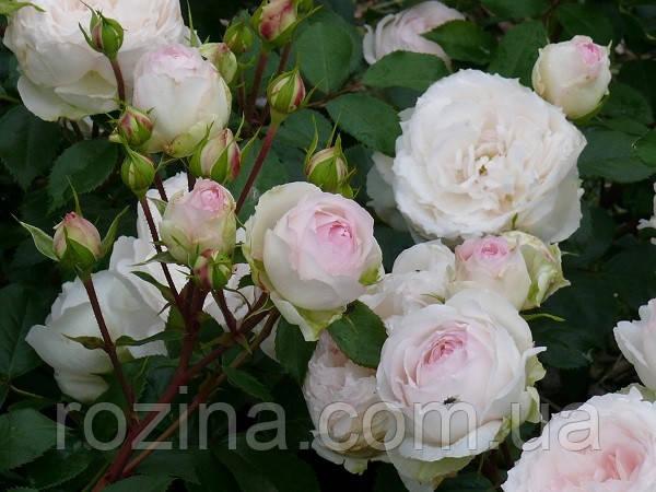 Роза  Стефания Баронин