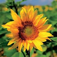 Семена подсолнечника НС-Х-496 (Элит)