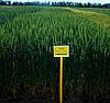 Озимая пшеница Подолянка элита безостая