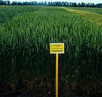 Озимая пшеница Подолянка элита безостая, фото 1