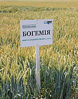 Богемия озимая пшеница безостая Selgen Чехия элита
