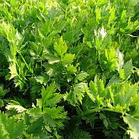 Семена сельдерея Емна Moravoseed 10 000 шт (Проф упаковка 10 000 шт)